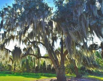 Louisiana Live Oak Tree, Louisiana photo, Louisiana Art, Louisiana Decor, New Orleans Photos, New Orleans Art, New Orleans Decor, Nature pic