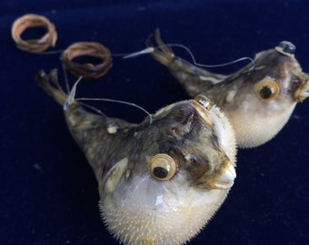 Taxidermy Puffer Fish