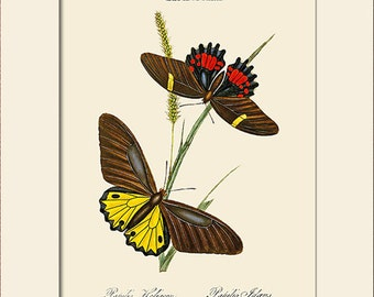 Butterfly Art Print with Mat, Note Card, Papilio Heliacon, Plate 19, Donovan, Natural History, Wall Art, Wall Decor, Butterfly Print