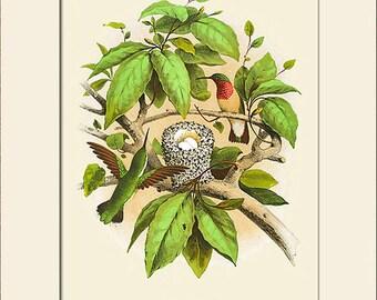 Ruby-Throated Humming Bird Print, Bird Nest Print, Thomas Gentry, Art Print with Mat, Note Card, Natural History Illustration, Wall Art