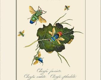 Chrysis Fasciata, India Insect, Edward Donovan, Art Print with Mat, Note Card, Natural History, Wall Art, Wall Decor, Vintage Print