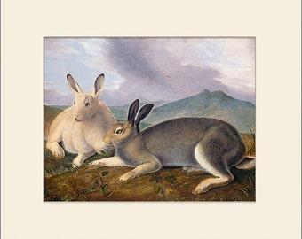 Audubon, Arctic Hare, Art Print with Mat, Note Card, Antique Natural History Illustration, Wall Art, Vintage Wall Decor, Audubon Prints