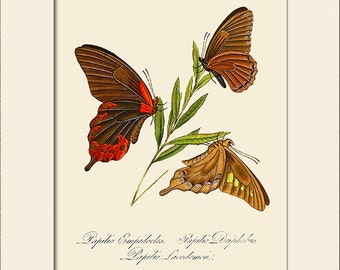 Butterfly Art Print with Mat, Note Card, Papilio Empedocles, Plate 17, Donovan, Natural History, Wall Art, Wall Decor, Butterfly Art
