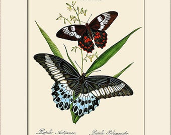 Butterfly Art Print with Mat, Plate 20, Note Card, Donovan, Papilio Heliacon, Natural History, Wall Art, Wall Decor, Butterfly Print