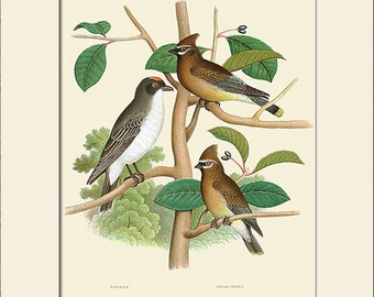 Bird Print, Cedar Bird, King Bird, Thomas Gentry, Birds of USA, Art Print with Mat, Note Card, Natural History, Wall Art, Wall Decor