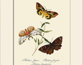 Butterfly Art Print with Mat, Plate 48, Note Card, Donovan, Papilio Figura, Natural History Illustration, Wall Art, Wall Decor