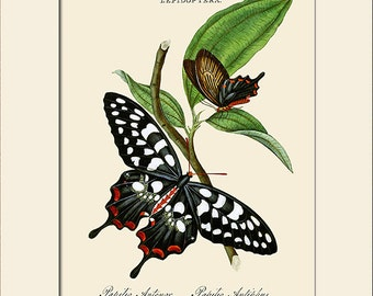 Butterfly Art Print with Mat, Note Card, Papilio Antenor, Plate 16, Donovan, Natural History,  Wall Art, Wall Decor, Butterfly Print