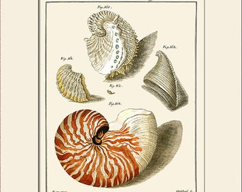 Nautilus Shell Print, Plate 18, Art Print with Mat, Note Card, Natural History Illustration, Wall Art, Nautical Art, Sea Life, Costal Decor