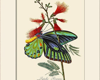 Butterfly Art Print with Mat, Note Card, Papilio Priamus, Plate 15, Donovan, Natural History, Wall Art, Wall Decor, Butterfly Print