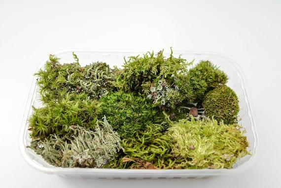 Set Of Moss Bonsai Moss Live Moss Fairy Tale Garden Mini Etsy