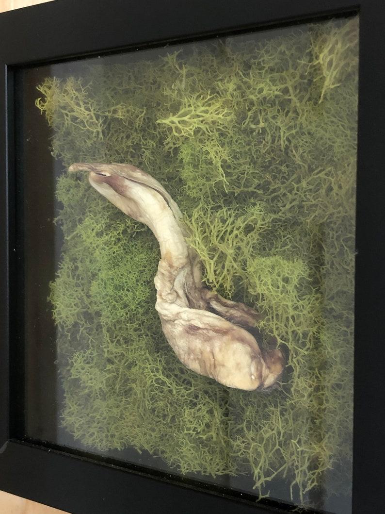 Alligator phallus display