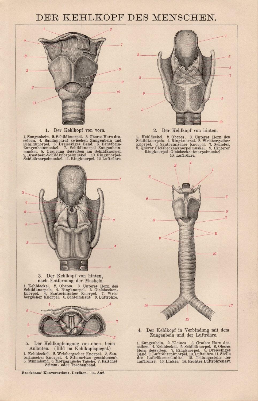 Antike Anatomie Lithographie menschliche Anatomie | Etsy
