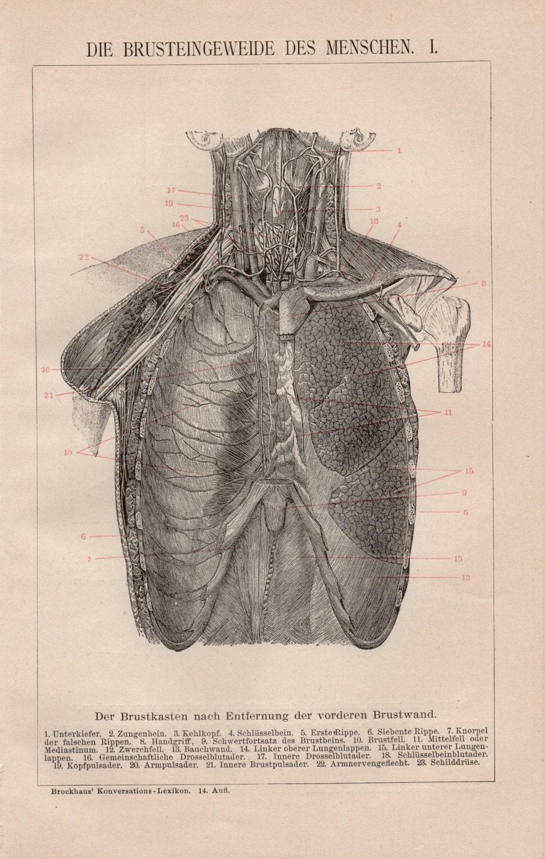 Menschlichen Lunge Lithographie Lunge Lungen menschliche   Etsy