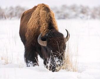 Buffalo Photograph, Antelope Island Utah, Photography, Digital Download Photography, Printable Art, Nature Photography, Animal Photography