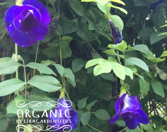 50 Seeds Clitoria ternatea Blue Butterfly Pea Seeds Tropical Plant Perfect for Vivid Flower Sun Shade.