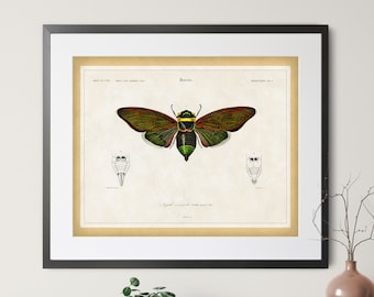 1892 Antique Cicada Print - Vintage Insect Art, Entomologist Gift, Bug Print, Insect Print, Bug Art, Cicada Art, Entomology Illustration