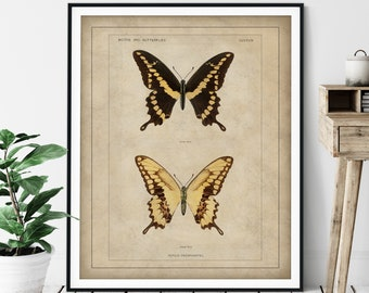 1900 Antique Giant Swallowtail Butterfly Print - Vintage Insect Art, Bug Print, Insect Print, Bug Art, Bathroom Wall Art, Specimen Chart