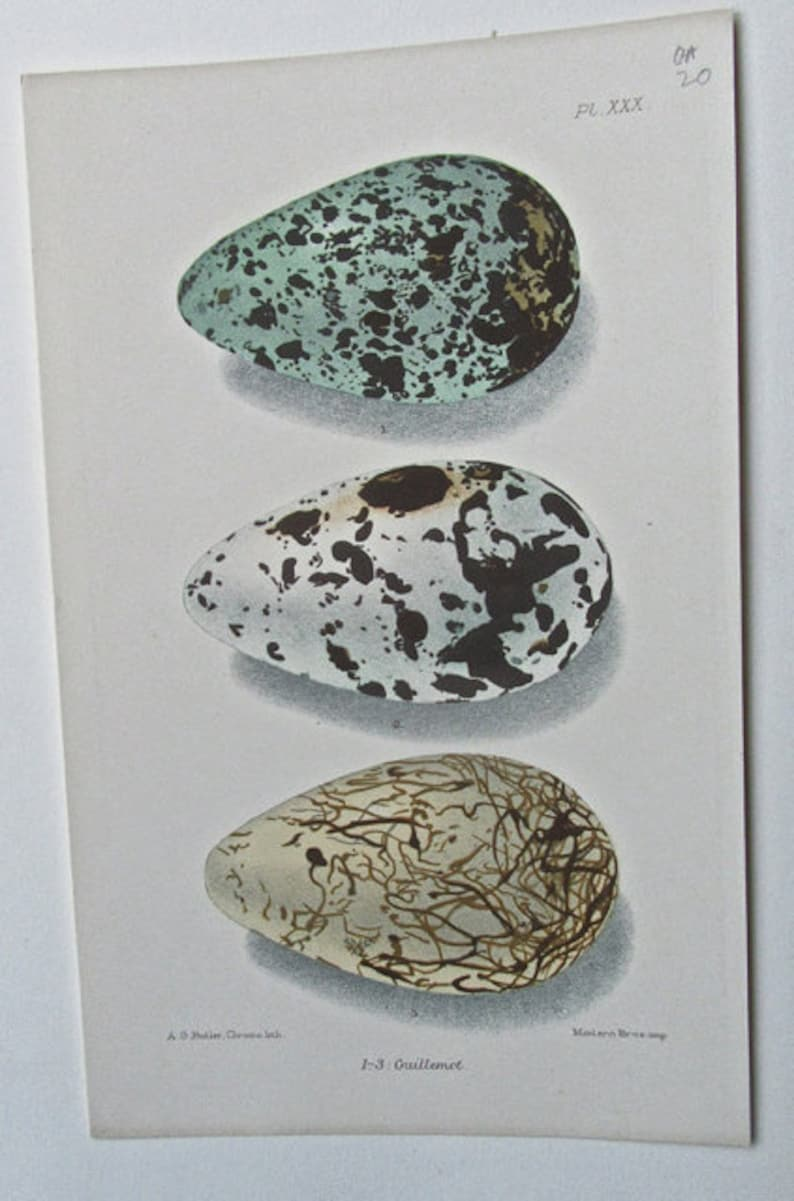 1880 Six Pages from British Birds/' Eggs