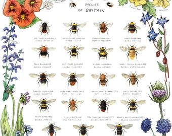Bumblebee Species of Britain Art Print - Bee Poster, Bumblebee Art, Bumblebee Print