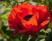 1000 Red TURKISH POPPY Heirloom Papaver Somniferum Flower Seeds photo