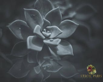 Succulent Reflections, Nature Photography, Succulent Picture, Metal Art Print, Photography, Art Print, Mounted, Wall Art, Black and White