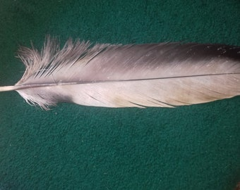 Andean condor (Vultur gryphus). Naturally molt feathers. Cruelty free