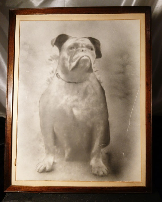 Antique photograph of a bulldog, large, original early photography, dog portrait