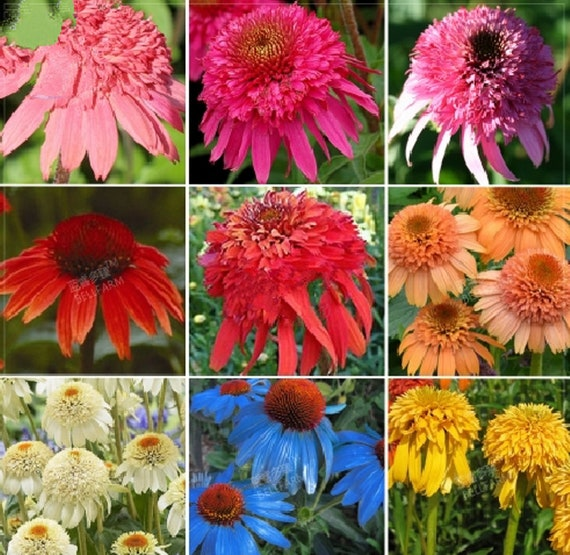 100 seed echinacea mixed 9 colors big blooms perennial flower etsy image 0 mightylinksfo