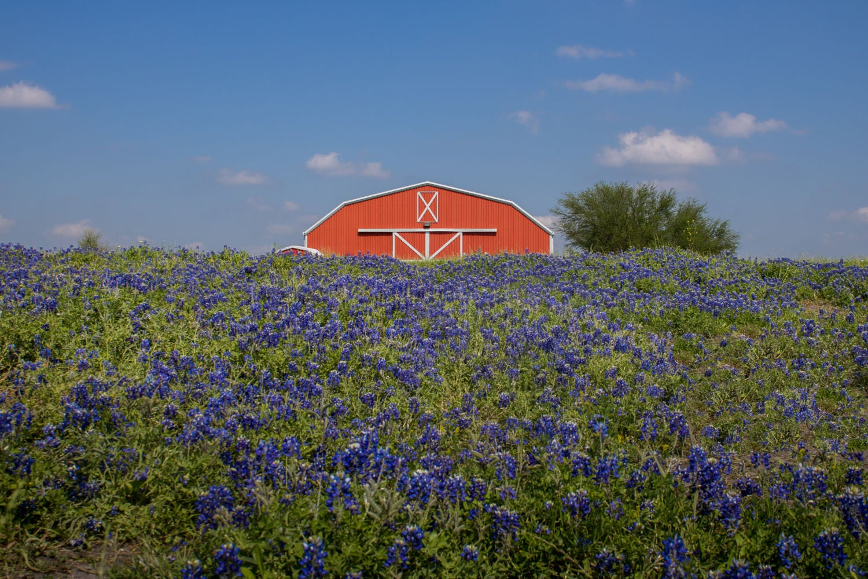 Field Of Wildflowers Bluebonnets Texas Spring Landscape Etsy