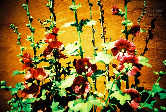 Red Hollyhock Flowers