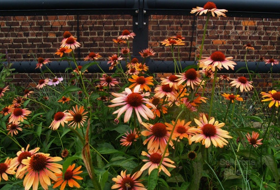 Echinacea on the Highline