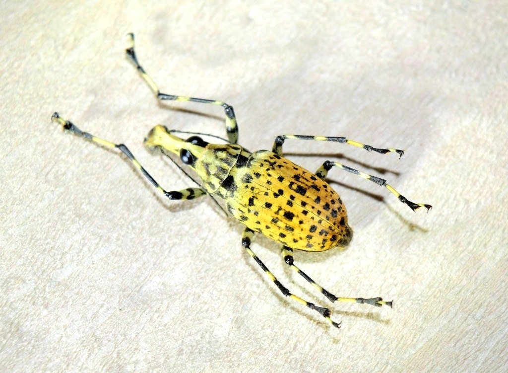 Colección de insectos de Anthribidae sp real insectos | Etsy