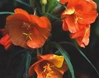 PRIMULA Vialii orchidea Primrose 50 semi-centinaia di fiori