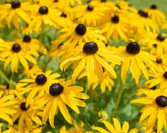 200 Samen Gloriosa Daisy Rudbeckia Hirta