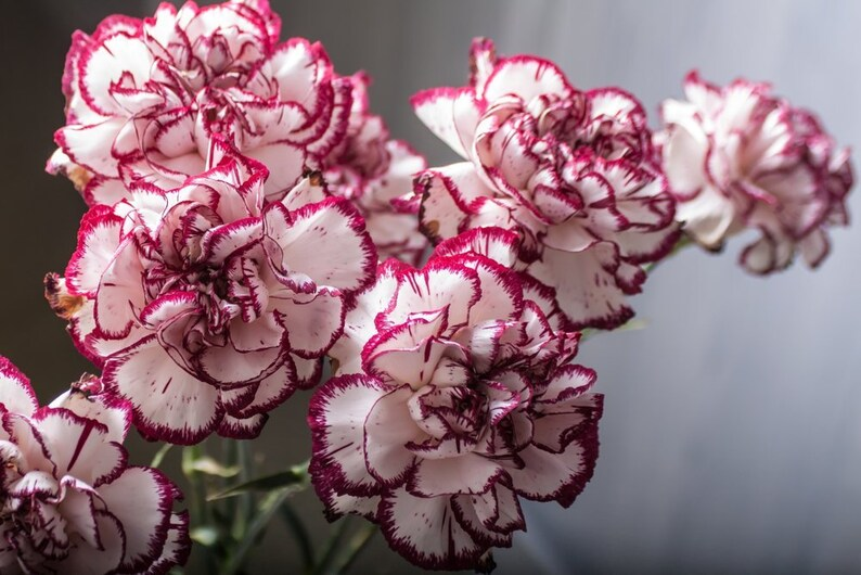 3b3486430 Carnation Double Striped 30 Seeds Dianthus Bloom all summer