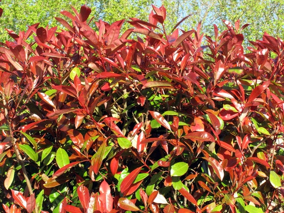 Photinia Fraseri Red Robin 10 Seeds Etsy
