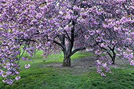 Japanese Flowering Cherry 5 Seeds Etsy