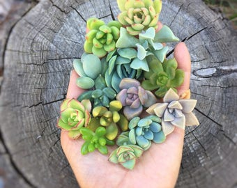 15 small baby succulent cuttings