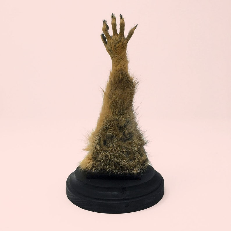 Real Taxidermy Red Fox Paw Monkeys Paw Cursed Mounted Etsy
