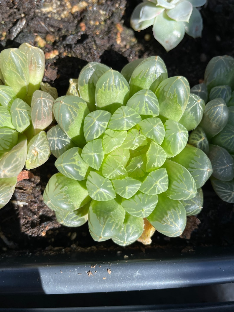 Rare Succuelnt Haworthia Obtuse cv /'Amber\u2019