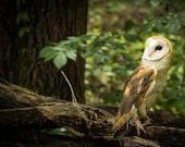Barn Owl on a Limb