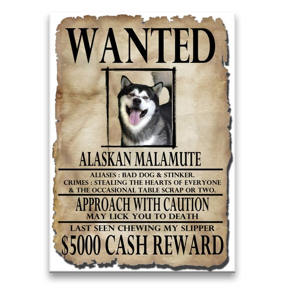 Alaskan Malamute Wanted Poster Fridge Magnet