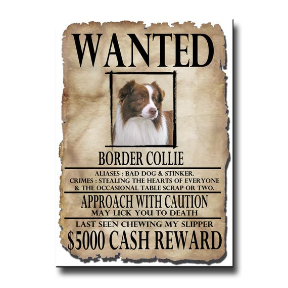 Border Collie Wanted Poster Fridge Magnet No 2