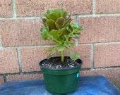 Aeonium Hybrid,Green Succulent Gift,DIY Succulent,Rare Succulent,Rare Plant,Large Succulent,Succulent Lover,Succulent gift,No Planter