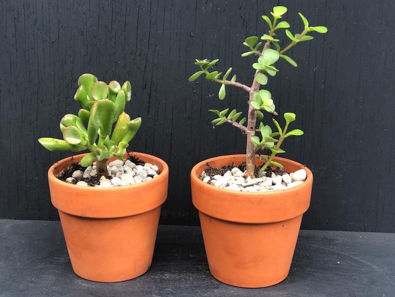 Crassula Tetragona Starter rooted plant in 2 inch pot Mini Pine Tree