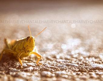 Picture grasshopper, under the autumn sun, fine art photography, print, 8x12, 10x15, 14x21, 16x24, 18X27, wall decoration, green yellow tone