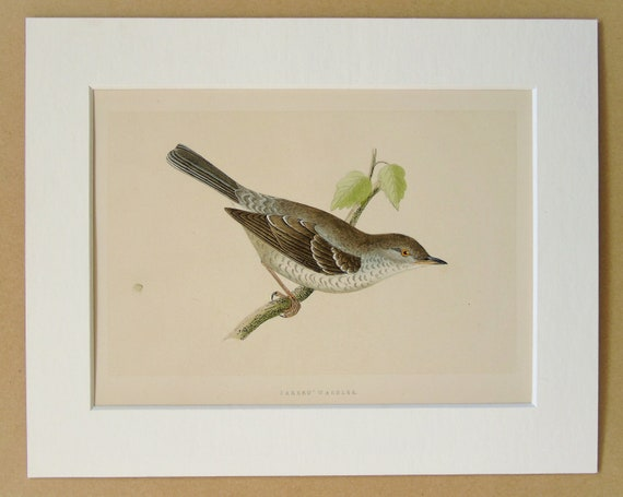 Barred Warbler Antique Bird Print by Charles Bree Original | Etsy
