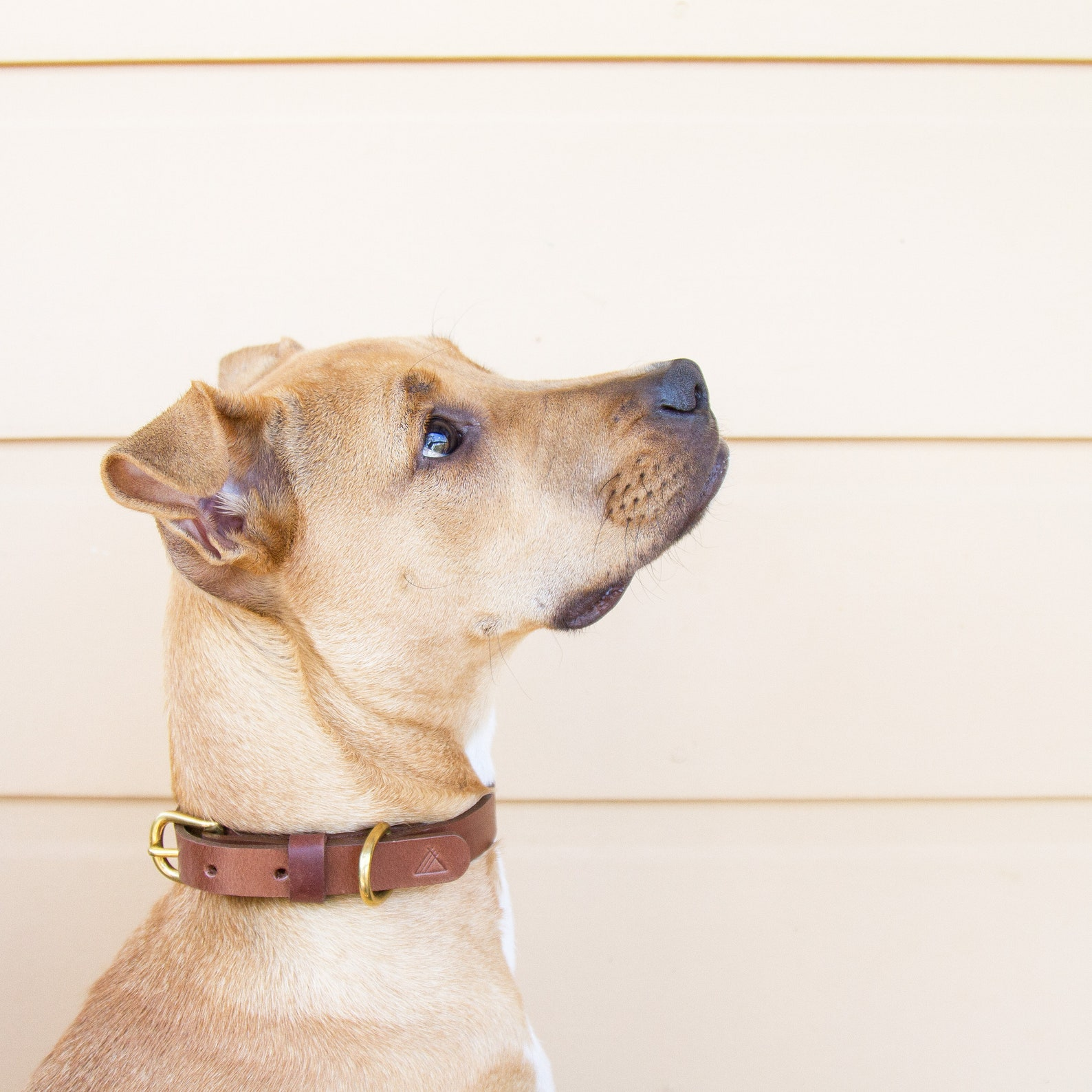 Dog posing with brown leather dog collar