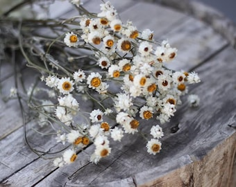 3-4 Ounces Dried Ammobium, Winged Everlasting, White Flower, Wedding Flower, Corsage Flower