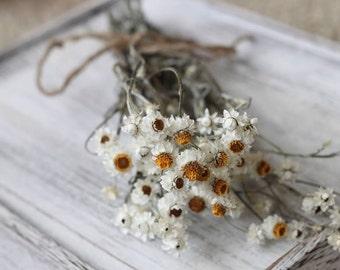 Ammobium Short Stems- Set of 12- Winged Everlasting Flower, Pearly Everlasting, Wedding Flower, Corsage, Boutonniere